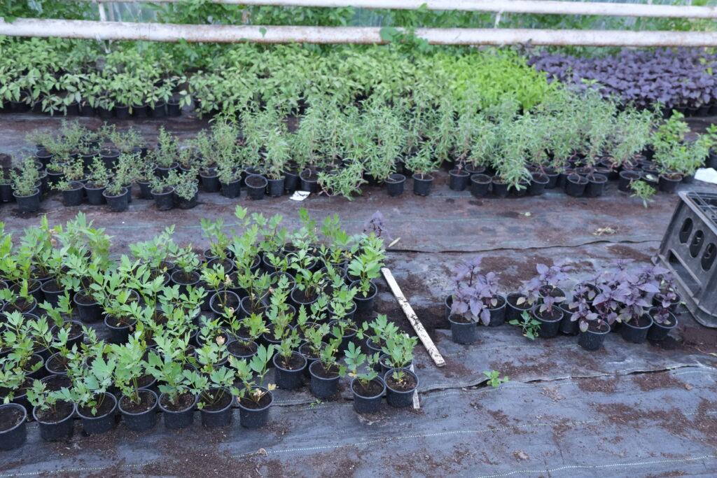 Jak dbać o zioła na balkonie?